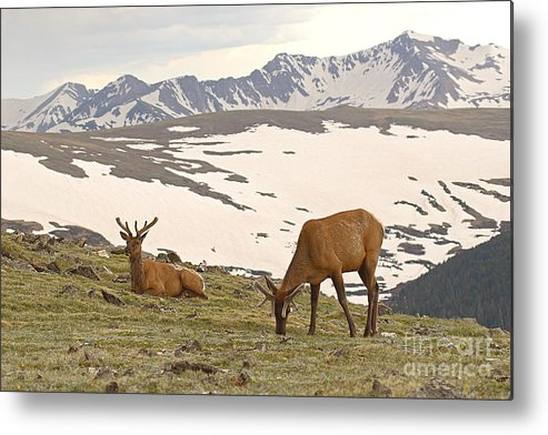 Elk Metal Print featuring the photograph Elk Bulls In The Highlands Of Colorado by Max Allen