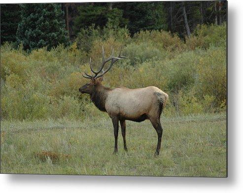 Elk Metal Print featuring the photograph Elk by Kathy Schumann