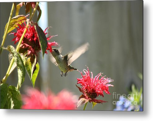 Hummingbird Metal Print featuring the photograph Enjoying The Bee Balm by Cathy Beharriell