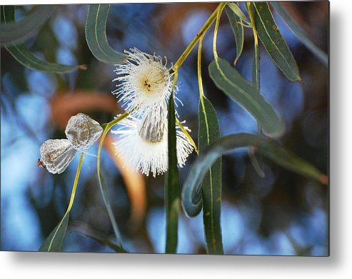 Eucalyptus Metal Print featuring the photograph Eucalyphoria by Jean Booth