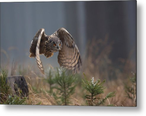 Nature Metal Print featuring the photograph Eurasian Eagle-owl by Milan Zygmunt