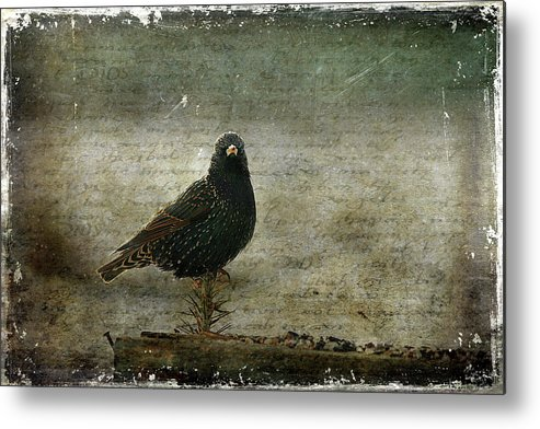 Cindi Ressler Metal Print featuring the photograph European Starling by Cindi Ressler