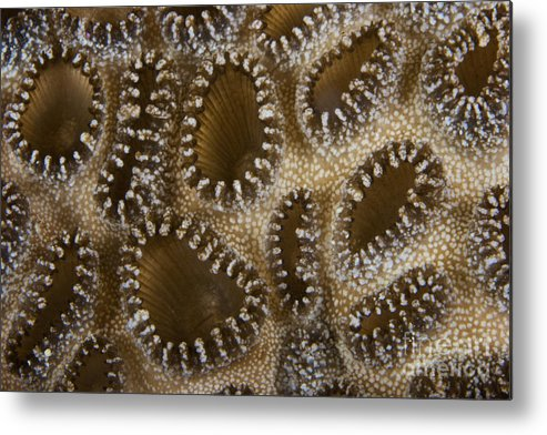 Palythoa Tuberculosa Metal Print featuring the photograph Extreme Close-up Of A Crust Anemone by Terry Moore