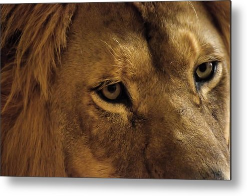Lion Metal Print featuring the photograph Eyes Of The Lion Color by Matt Steffen