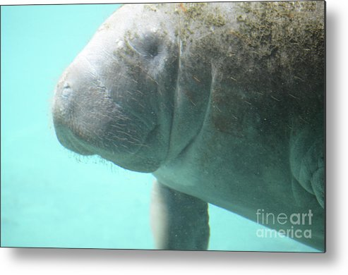 Manatee Metal Print featuring the photograph Face Of A Manatee Swimming Underwater by DejaVu Designs