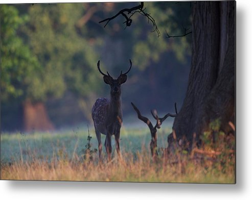 Fallow Deer Stag Early Morning Light Autumn Fall Uk England Woodland Forest Tree Green Colours Metal Print featuring the photograph Fallow Deer Stag by Neil Wayper