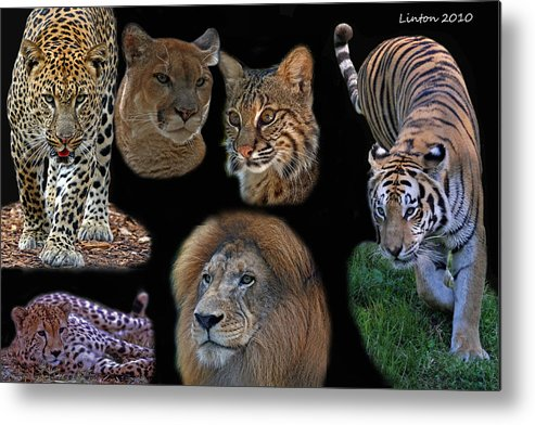 Feline Metal Print featuring the photograph Feline Montage by Larry Linton