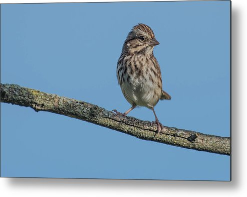 Bird Metal Print featuring the photograph Female House Finch Resting by Bruce Pritchett