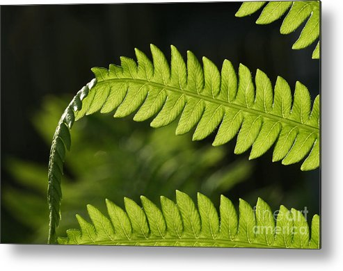 Garden Photo Metal Print featuring the photograph Fern by Steve Augustin