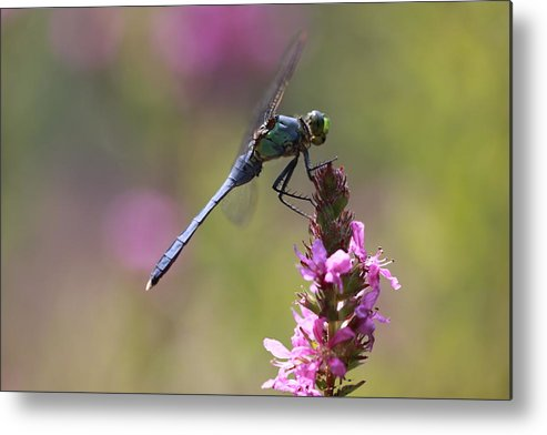 Dragonfly Metal Print featuring the photograph Field Of Pink by Paul Slebodnick