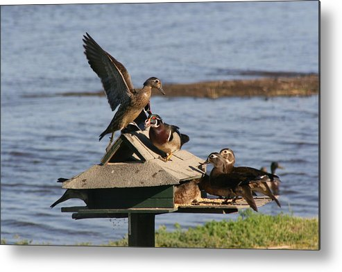 Ducks Metal Print featuring the photograph Fighting Ducks by Jerry Patchin