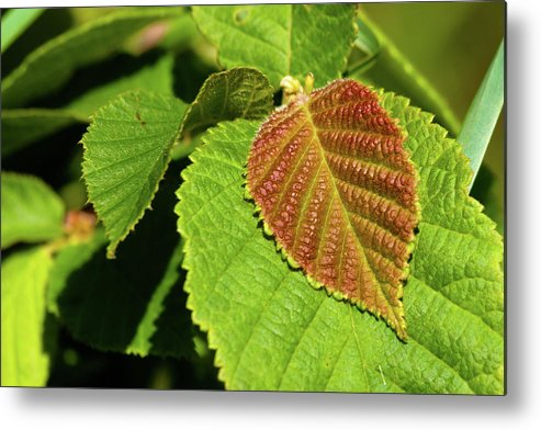 Hazelnut Metal Print featuring the photograph Filbert Leaf by Grant Groberg