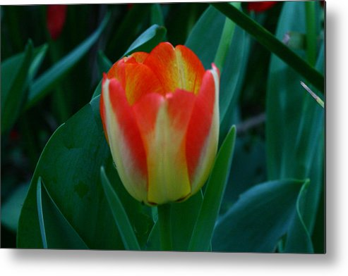 Botanical Metal Print featuring the photograph Fire Tulip by David Houston