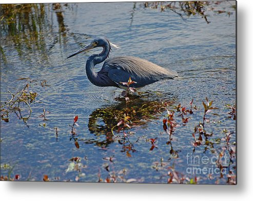 Wild Birds Metal Print featuring the photograph Fishing by Henry Russell