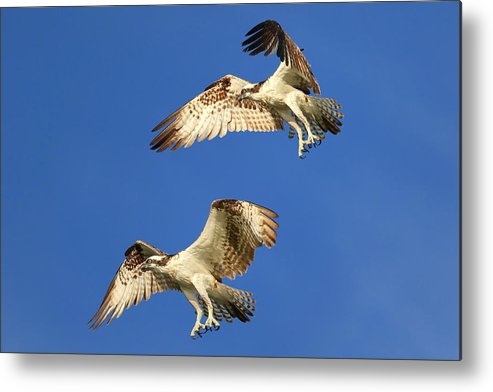 Bird Metal Print featuring the photograph Fishing Tandem by John Absher