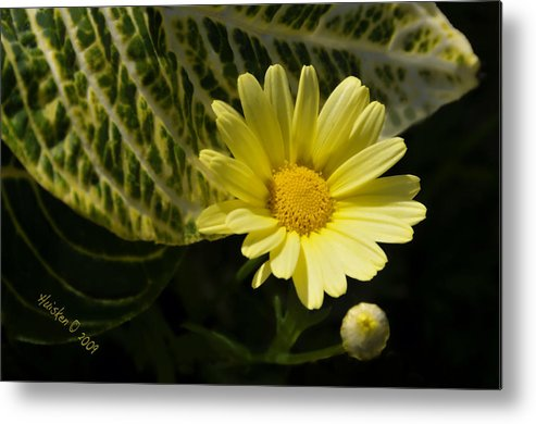 Daisy Metal Print featuring the photograph Floating Daisy by Lyle Huisken
