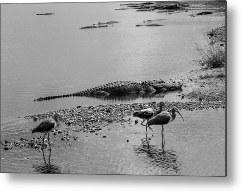 Photo For Sale Metal Print featuring the photograph Florida Locals by Robert Wilder Jr