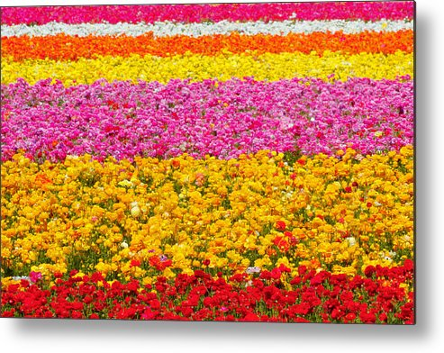 Flower Metal Print featuring the photograph Flower Fields Carlsbad Ca Giant Ranunculus by Christine Till