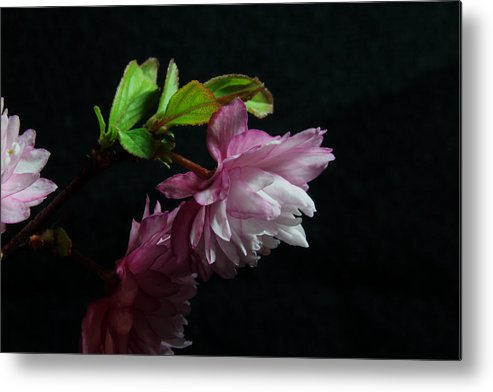 Nature Metal Print featuring the photograph Flowering Almond 2011-15 by Robert Morin