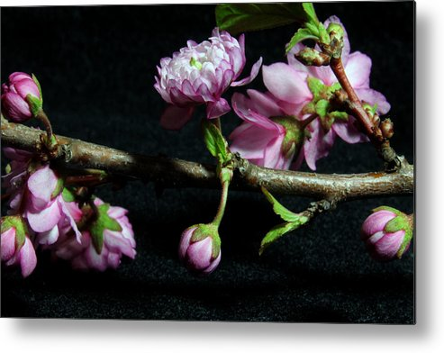 Nature Metal Print featuring the photograph Flowering Almond 2011-16 by Robert Morin