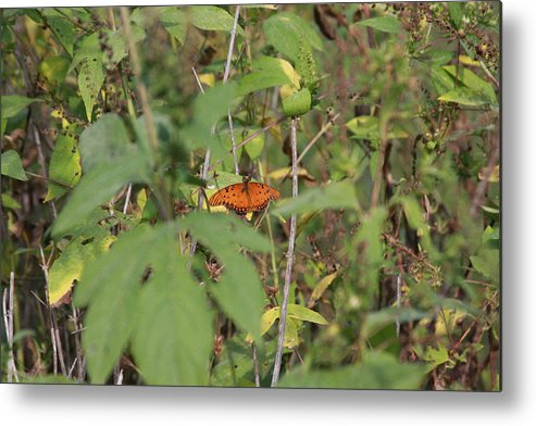 Butterfly Metal Print featuring the photograph Flutterby by Jonathan Kotinek