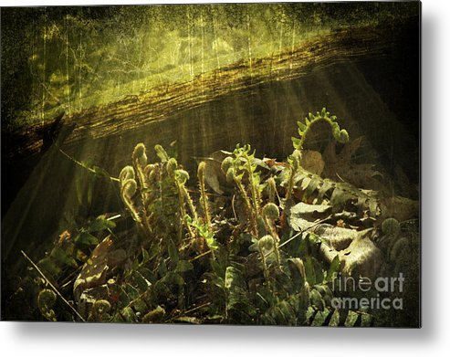 Ferns Metal Print featuring the photograph Forest Ferns Unfurling by Sari Sauls