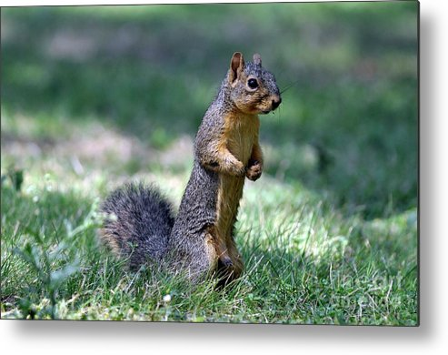Fox Squirrel Metal Print featuring the photograph Fox Squirrel by Laura Mountainspring