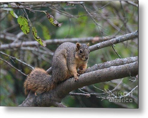 Fox Metal Print featuring the photograph Fox Squirrel On A Branch by Scott D Van Osdol