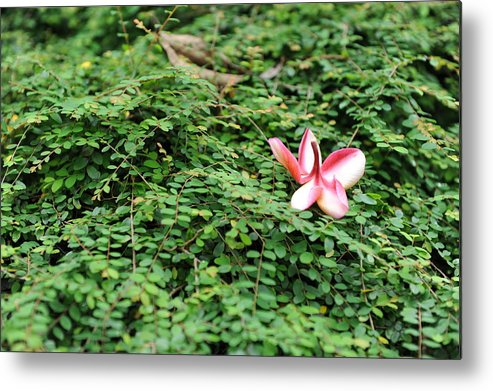 Red Metal Print featuring the photograph Frangipani Flower by Jessica Rose