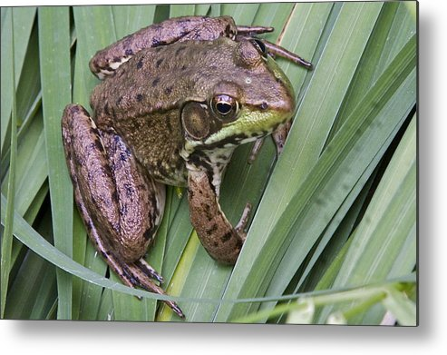 Frog Metal Print featuring the photograph Fred by Robert Joseph