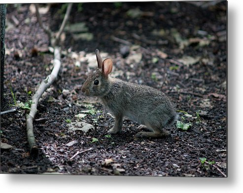 Rabbit Cottontail Frozen Watching Ears Animal Mammal Small Gray Metal Print featuring the photograph Freeze by Craig Hosterman