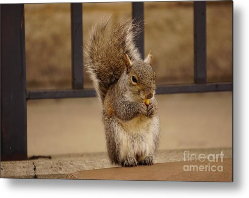 Squirrel Metal Print featuring the photograph French Fry Eating Squirrel by Merle Grenz