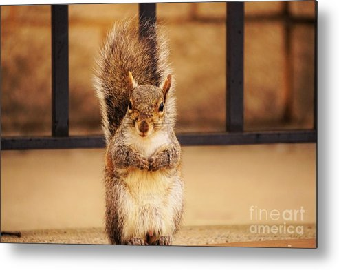 Squirrel Metal Print featuring the photograph French Fry Eating Squirrel2 by Merle Grenz