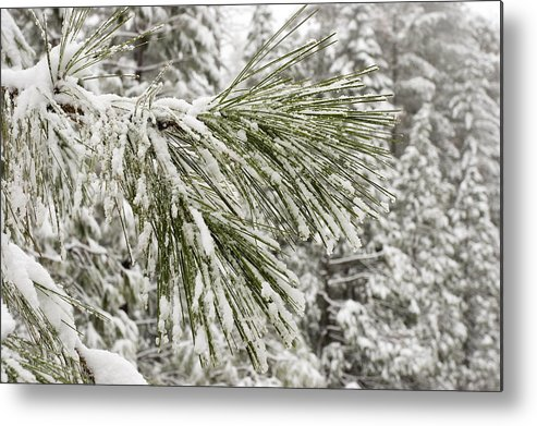 Yosemite National Park Metal Print featuring the photograph Fresh Snow Covers Needles On A Pine by Charles Kogod