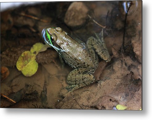 Frog Metal Print featuring the photograph Frog Pond by Paul Slebodnick