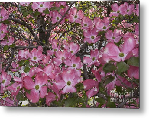 Dogwood Metal Print featuring the photograph Full Bloom by Idaho Scenic Images Linda Lantzy