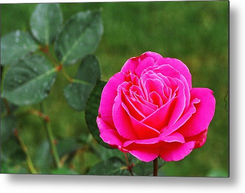 Pink Rose Metal Print featuring the photograph Fuschia Rose by Corynne Hilbert