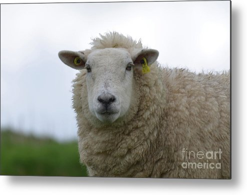Sheep Metal Print featuring the photograph Fuzzy White Sheep In A Remote Location by DejaVu Designs