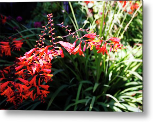 Photo Metal Print featuring the photograph Garden Fire by Alan Hausenflock