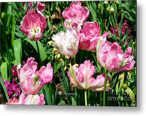 Bloom Metal Print featuring the photograph Garden Of Pink Parrot Tulips by Jeannie Rhode