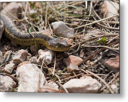 Beautiful Metal Print featuring the photograph Garter Snake On The Trail In The Pike National Forest Of Colorad by Steve Krull