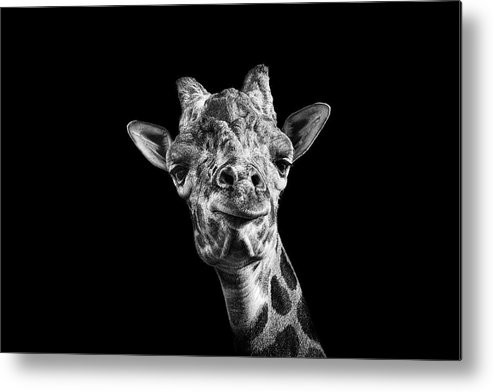 Horizontal Metal Print featuring the photograph Giraffe In Black And White by Malcolm MacGregor