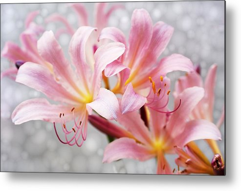 Lily Metal Print featuring the photograph Glowing Surprise Lily by Jim Darnall