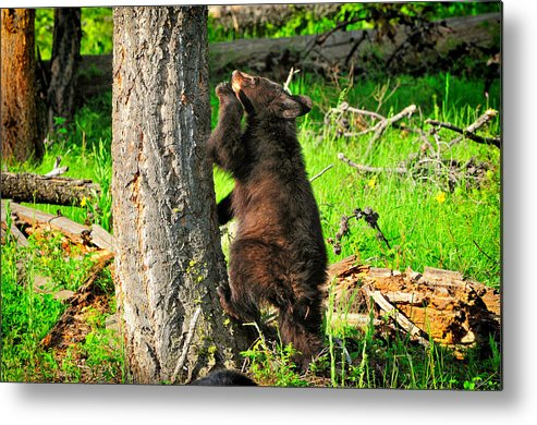 Bear Cub Metal Print featuring the photograph Go Climb A Tree by Greg Norrell