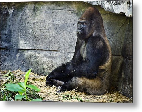 Ape Metal Print featuring the photograph Going Ape by Sarita Rampersad