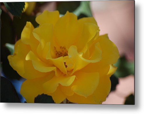 Rose Metal Print featuring the photograph Golden Dream by Helen Carson