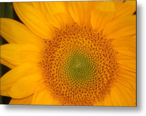 Sunflower Metal Print featuring the photograph Golden Sunflower by Liz Vernand