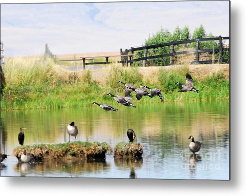 Bird Metal Print featuring the photograph Goose Pond by Dennis Hammer