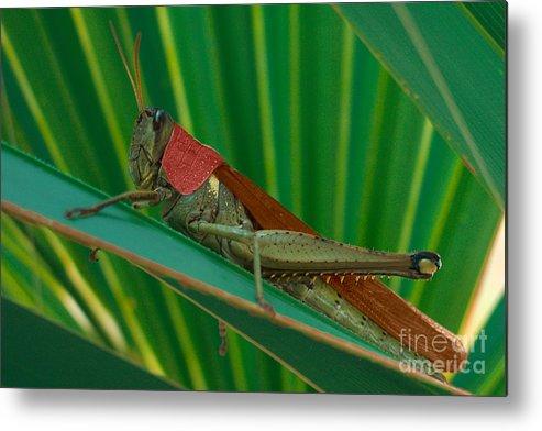 Grasshopper Metal Print featuring the photograph Grasshopper On Palm Leaf by Rolf Bertram