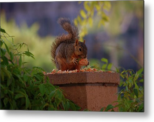 Rmb2010072600031 Metal Print featuring the photograph Munching Squirrel by Robert Braley